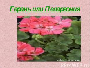 Герань или Пеларгония