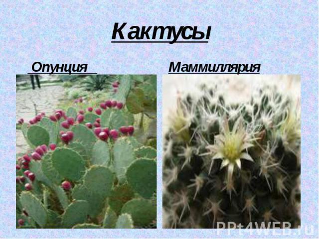 Кактусы Опунция Маммиллярия