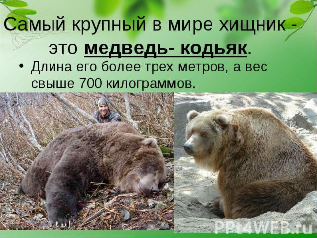 Длина его более трех метров, а вес свыше 700 килограммов. Длина его более трех метров, а вес свыше 700 килограммов.