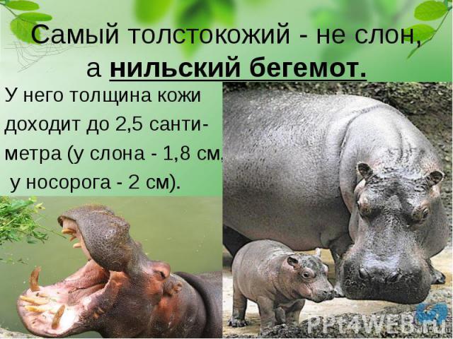 У него толщина кожи У него толщина кожи доходит до 2,5 санти- метра (у слона - 1,8 см, у носорога - 2 см).