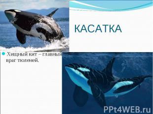 Хищный кит – главный враг тюленей. Хищный кит – главный враг тюленей.