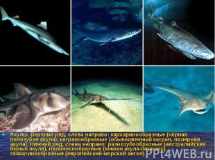 Акулы. Верхний ряд, слева направо: кархаринообразные (чёрная пилозубая акула), к