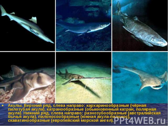 Акулы. Верхний ряд, слева направо: кархаринообразные (чёрная пилозубая акула), катранообразные (обыкновенный катран, полярная акула). Нижний ряд, слева направо: разнозубообразные (австралийская бычья акула), пилоносообразные (южная акула-пилонос), с…