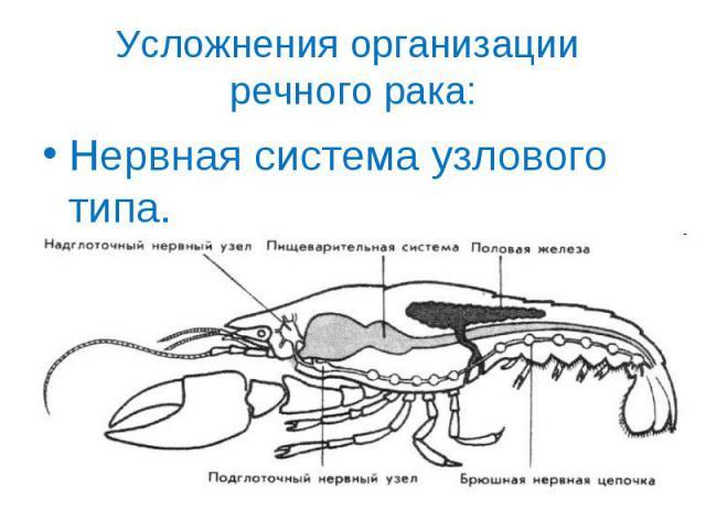Нервная система узлового типа. Нервная система узлового типа.