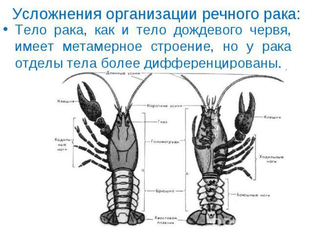 Тело рака, как и тело дождевого червя, имеет метамерное строение, но у рака отделы тела более дифференцированы. Тело рака, как и тело дождевого червя, имеет метамерное строение, но у рака отделы тела более дифференцированы.