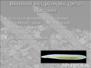 Тело полупрозрачное, заостренное (напоминает ланцет – медицинский инструмент), у