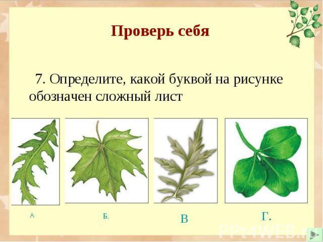 7. Определите, какой буквой на рисунке обозначен сложный лист 7. Определите, какой буквой на рисунке обозначен сложный лист