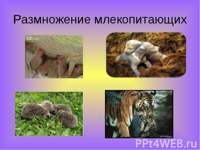 Размножение млекопитающих