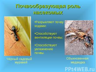 Почвообразующая роль насекомых Чёрный садовый муравей