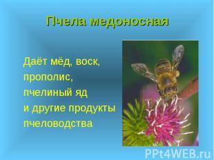 Пчела медоносная Даёт мёд, воск, прополис, пчелиный яд и другие продукты пчелово