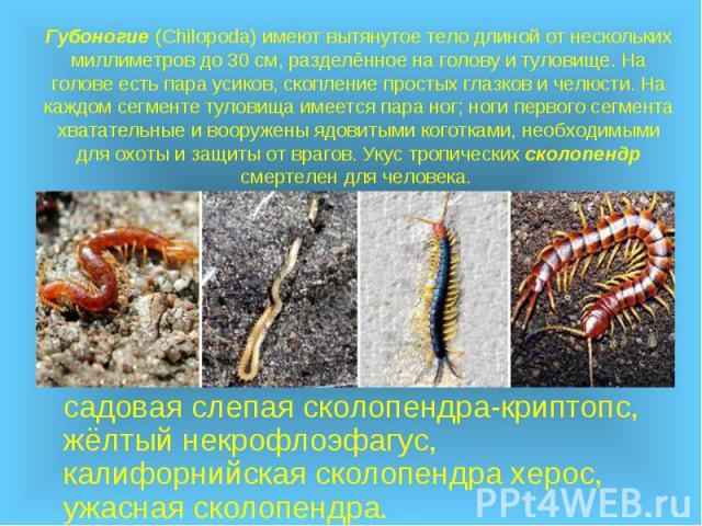 Губоногие (Chilopoda) имеют вытянутое тело длиной от нескольких миллиметров до 30см, разделённое на голову и туловище. На голове есть пара усиков, скопление простых глазков и челюсти. На каждом сегменте туловища имеется пара ног; ноги первого …