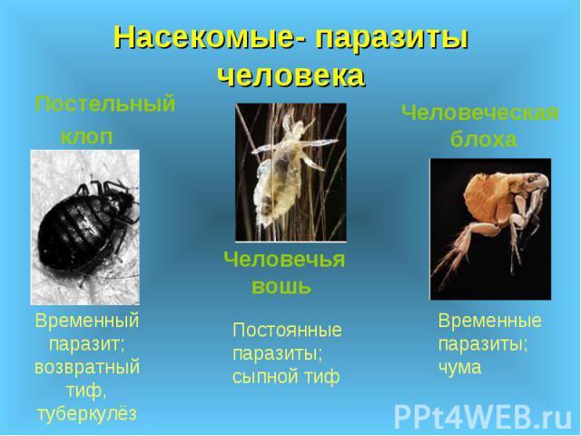 Насекомые- паразиты человека Постельный клоп