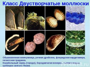 Класс Двустворчатые моллюски