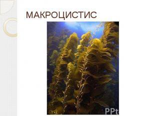 МАКРОЦИСТИС