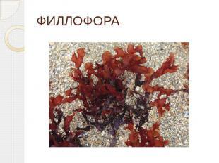 ФИЛЛОФОРА