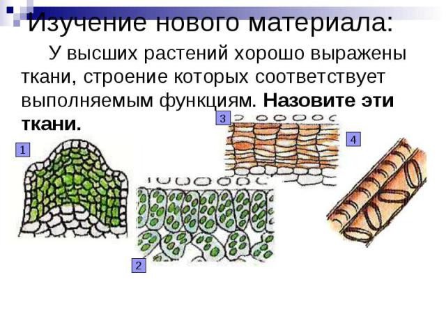 Изучение нового материала: У высших растений хорошо выражены ткани, строение которых соответствует выполняемым функциям. Назовите эти ткани.