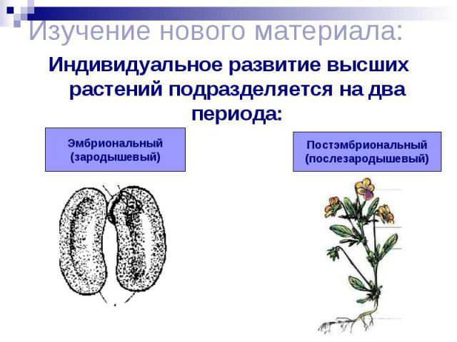 Изучение нового материала: Индивидуальное развитие высших растений подразделяется на два периода: