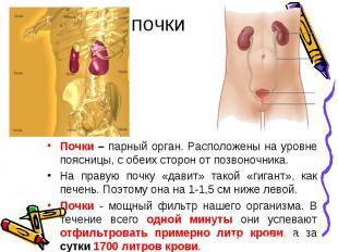 Почки – парный орган. Расположены на уровне поясницы, с обеих сторон от позвоноч