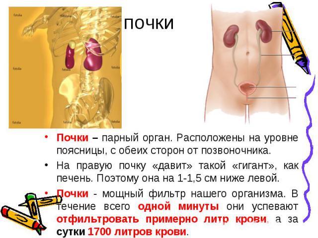 Почки – парный орган. Расположены на уровне поясницы, с обеих сторон от позвоночника. Почки – парный орган. Расположены на уровне поясницы, с обеих сторон от позвоночника. На правую почку «давит» такой «гигант», как печень. Поэтому она на 1-1,5 см н…