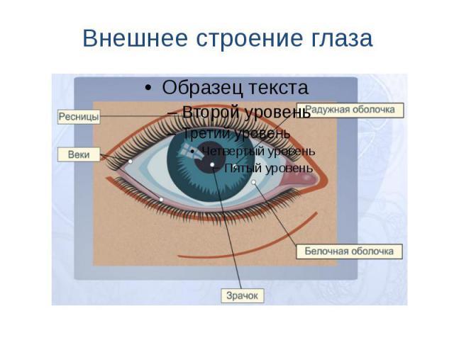 Внешнее строение глаза