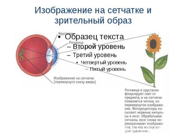 Изображение на сетчатке и зрительный образ