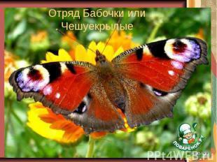 Отряд Бабочки или Чешуекрылые