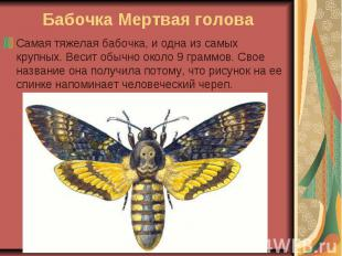 Бабочка Мертвая голова Самая тяжелая бабочка, и одна из самых крупных. Весит обы