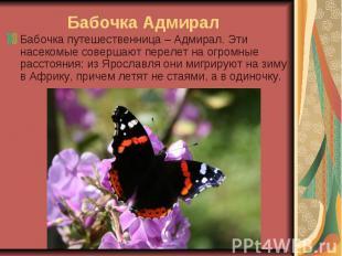 Бабочка Адмирал Бабочка путешественница – Адмирал. Эти насекомые совершают