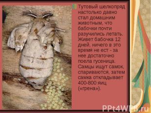 Тутовый шелкопряд настолько давно стал домашним животным, что бабочки почти разу