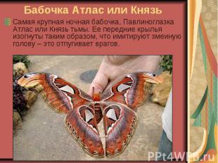 Бабочка Атлас или Князь Самая крупная ночная бабочка, Павлиноглазка Атлас или Кн