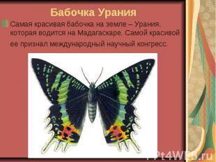 Бабочка Урания Самая красивая бабочка на земле – Урания, которая водится на Мада
