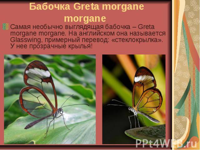 Бабочка Greta morgane morgane Самая необычно выглядящая бабочка – Greta morgane morgane. На английском она называется Glasswing, примерный перевод: «стеклокрылка». У нее прозрачные крылья!
