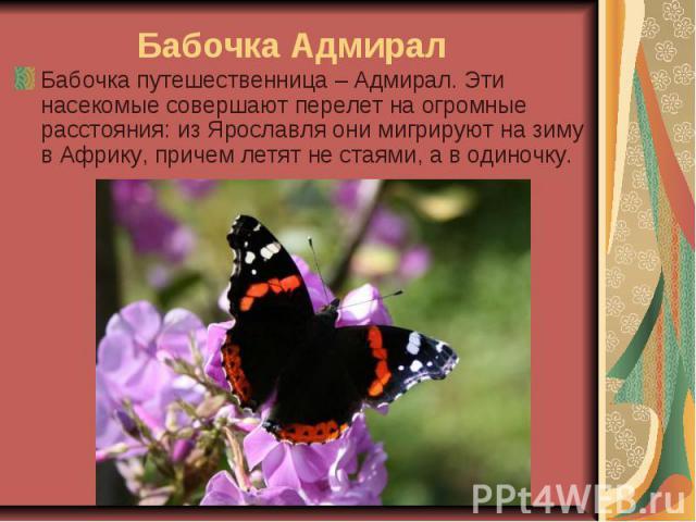 Бабочка Адмирал Бабочка путешественница – Адмирал. Эти насекомые совершают перелет на огромные расстояния: из Ярославля они мигрируют на зиму в Африку, причем летят не стаями, а в одиночку.
