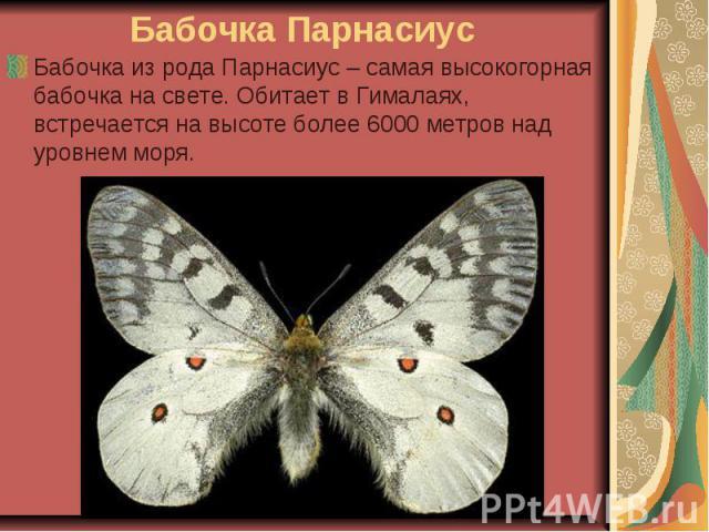 Бабочка Парнасиус Бабочка из рода Парнасиус – самая высокогорная бабочка на свете. Обитает в Гималаях, встречается на высоте более 6000 метров над уровнем моря.
