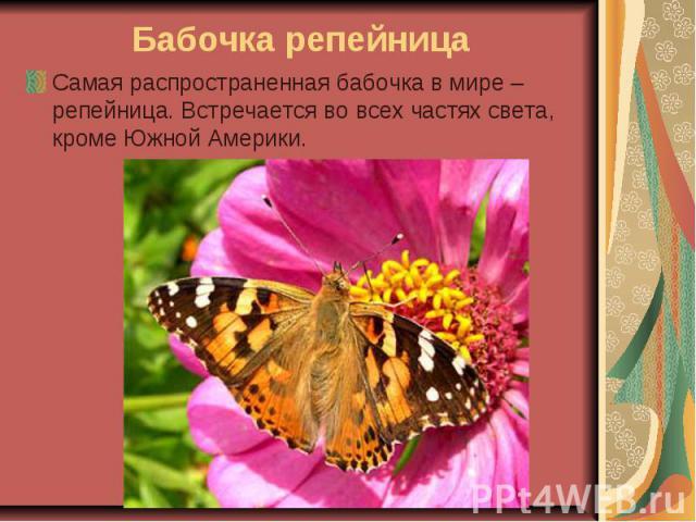 Бабочка репейница Самая распространенная бабочка в мире – репейница. Встречается во всех частях света, кроме Южной Америки.