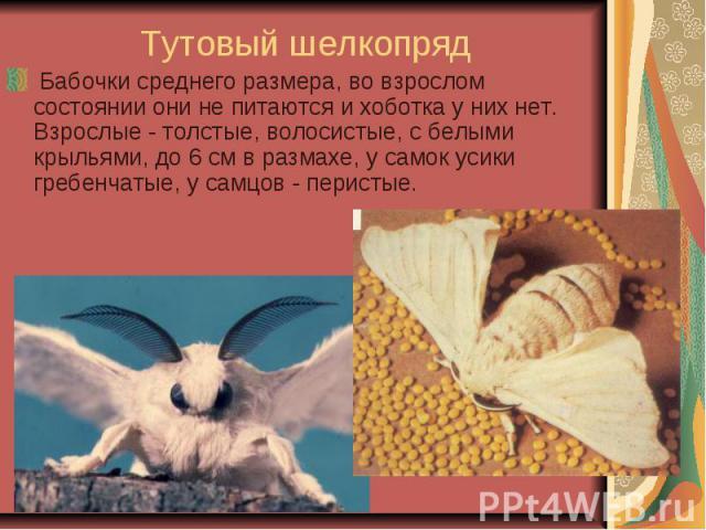 Тутовый шелкопряд Бабочки среднего размера, во взрослом состоянии они не питаются и хоботка у них нет. Взрослые - толстые, волосистые, с белыми крыльями, до 6 см в размахе, у самок усики гребенчатые, у самцов - перистые.