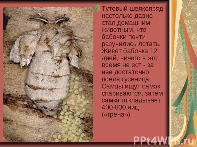 Тутовый шелкопряд настолько давно стал домашним животным, что бабочки почти разучились летать. Живет бабочка 12 дней, ничего в это время не ест - за нее достаточно поела гусеница. Самцы ищут самок, спариваются, затем самка откладывает 400-800 яиц («…