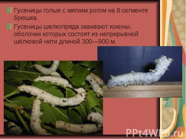 Гусеницы голые с мягким рогом на 8 сегменте брюшка. Гусеницы голые с мягким рогом на 8 сегменте брюшка. Гусеницы шелкопряда завивают коконы, оболочки которых состоят из непрерывной шёлковой нити длиной 300—900 м.
