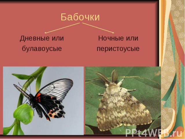 Бабочки Дневные или булавоусые