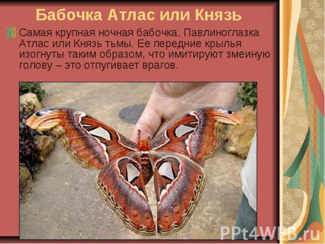 Бабочка Атлас или Князь Самая крупная ночная бабочка, Павлиноглазка Атлас или Князь тьмы. Ее передние крылья изогнуты таким образом, что имитируют змеиную голову – это отпугивает врагов.