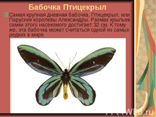 Бабочка Птицекрыл Самая крупная дневная бабочка, Птицекрыл, или Парусник королевы Александры. Размах крыльев самки этого насекомого достигает 32 см. К тому же, эта бабочка может считаться одной из самых редких в мире.