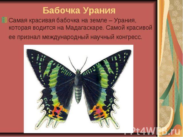 Бабочка Урания Самая красивая бабочка на земле – Урания, которая водится на Мадагаскаре. Самой красивой ее признал международный научный конгресс.