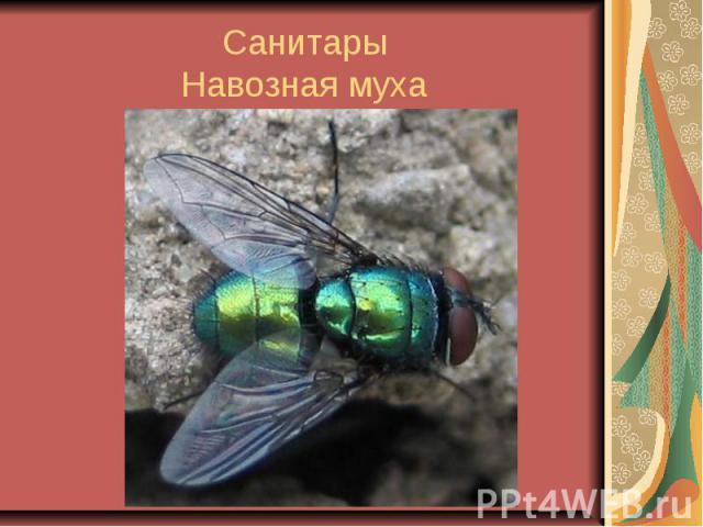 Санитары Навозная муха