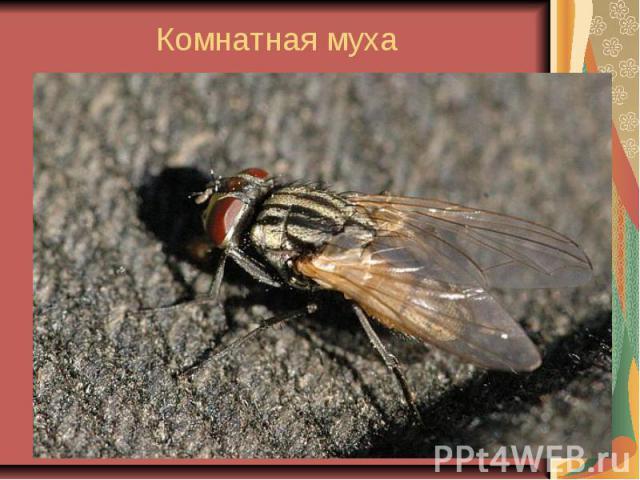 Комнатная муха