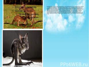 Размножаются кенгуру раз в году; определённого сезона размножения у них нет. Бер