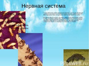 Нервная система У ехидн слабое зрение, однако хорошо развиты обоняние и слух. Их