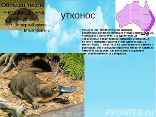 утконос Утконо с (лат. Ornithorhynchus anatinus) — водоплавающее млекопитающее о