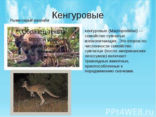 Кенгуровые кенгуровые (Macropodidae) — семейство сумчатых млекопитающих. Это второе по численности семейство сумчатых (после американских опоссумов) включает травоядных животных, приспособленных к передвижению скачками.