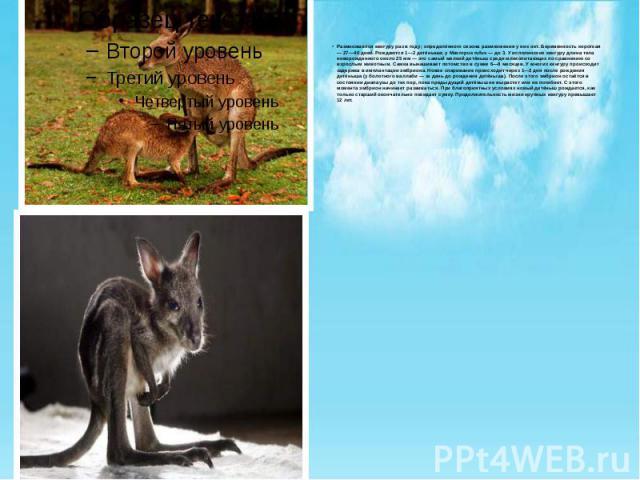 Размножаются кенгуру раз в году; определённого сезона размножения у них нет. Беременность короткая — 27—40 дней. Рождаются 1—2 детёныша; у Macropus rufus — до 3. У исполинских кенгуру длина тела новорожденного около 25 мм — это самый мелкий детёныш …