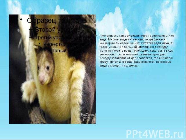 Численность кенгуру различается в зависимости от вида. Многие виды интенсивно истребляются, некоторые вымерли; на них охотятся ради меха, а также мяса. При большой численности кенгуру могут приносить вред пастбищам; некоторые виды уничтожают сельско…